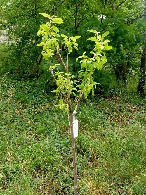 IUn nouveau cerisier à la Sarra